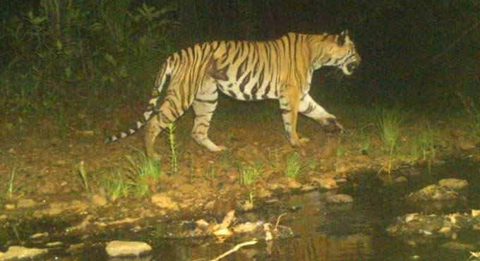 Asifabad: Tiger scare haunts people in 10 villages